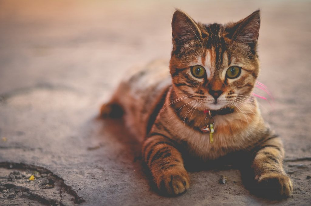 beautiful kitty with a collar